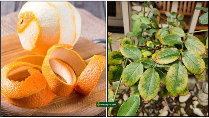 orange-plant-yellowing