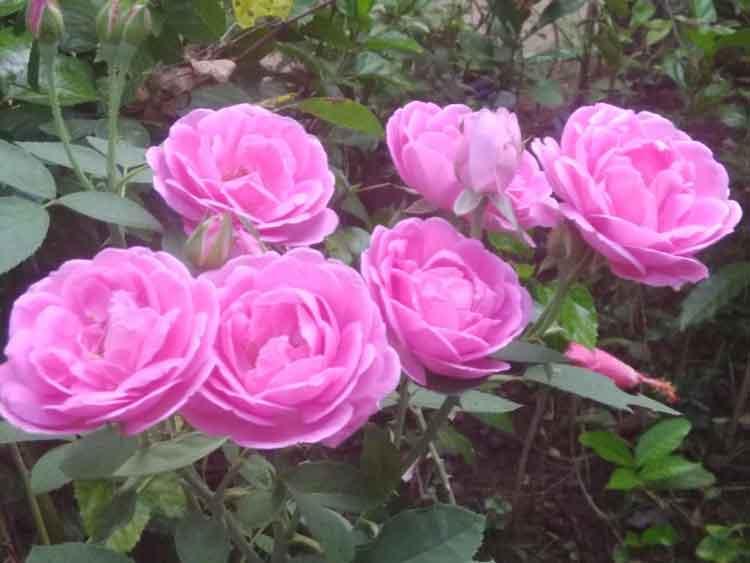 paneer-rose-plant