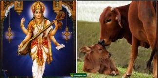saraswathi-komatha-cow