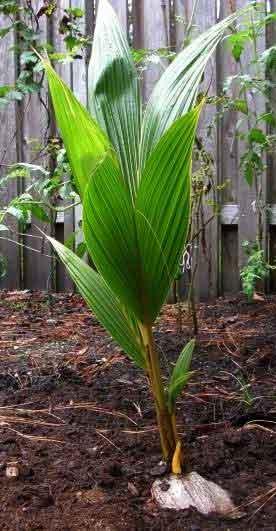 thennampillai-coconut-tree