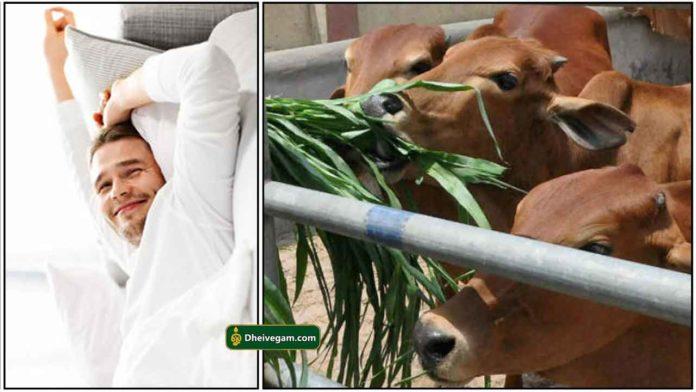wakeup-cow