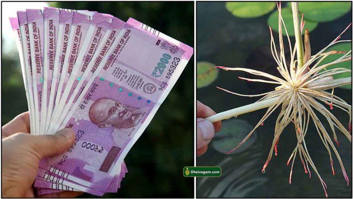 cash-lotus-root