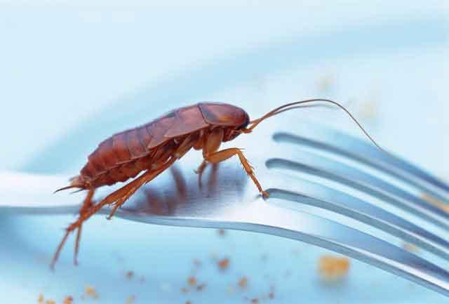 cockroach1