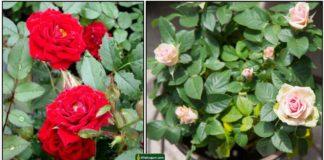 rose-roja