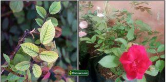 rose-plant-leaf
