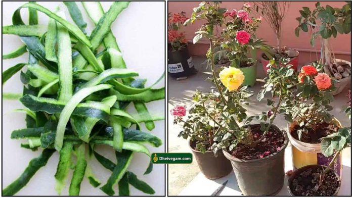cucumber-peel-rose-plant