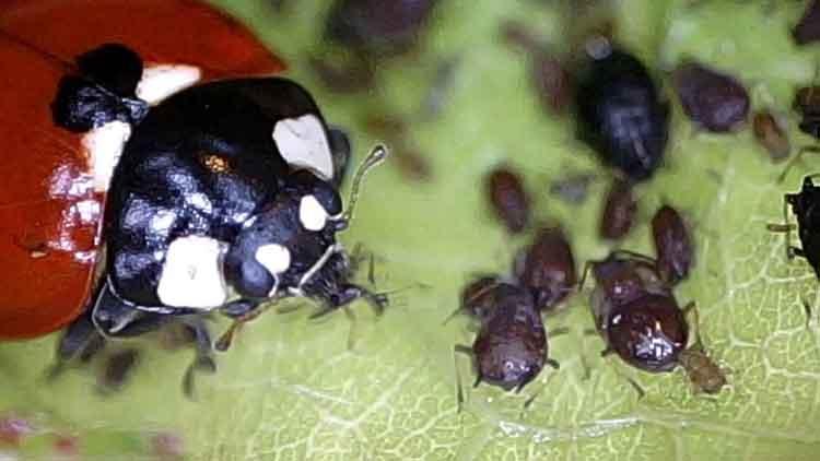 lady-bug-eats