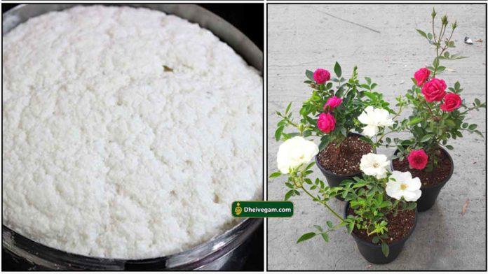 maavu-plant