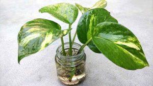 money-plant1
