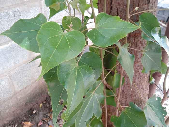 poovarasan-leaf