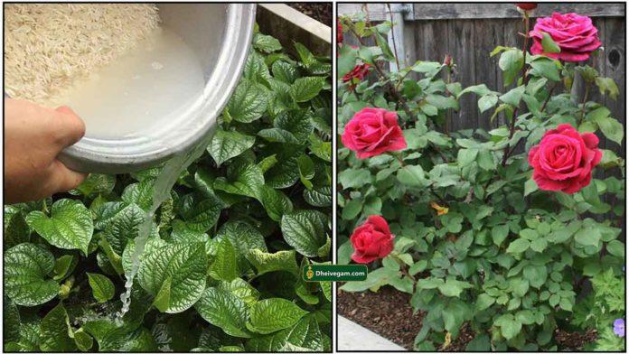ricewater-roseplant