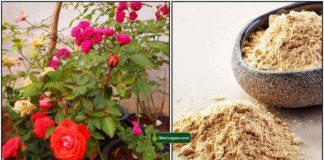 rose-plant-fish-fertilizer