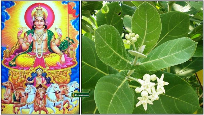 sooriyan-erukkam-leaf
