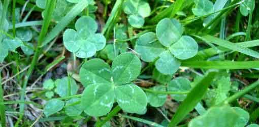 4-leaf-grass