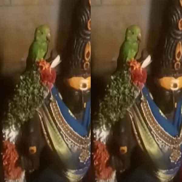 meenatchi-parrot1