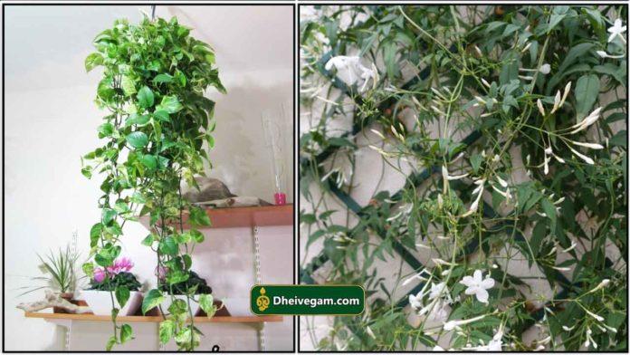 money-plante