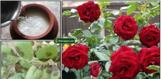 rose-leaf-sadham