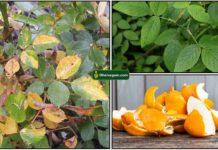 rose-plant-yellow-orange-peel