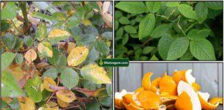 rose-plant-yellow-orange-peel