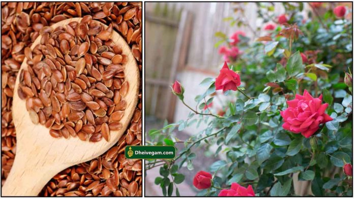 flax-seeds-rose-plant