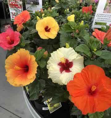 hibiscus-sembaruthi