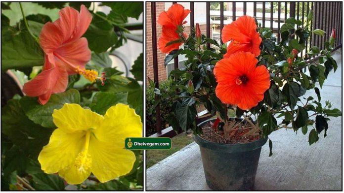 hibiscus-sembaruthi1