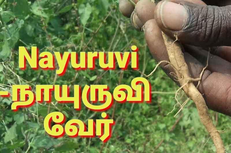 nayuruvi