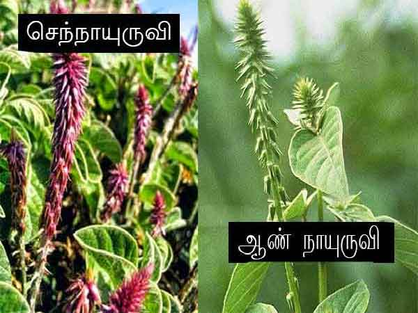 nayuruvi1