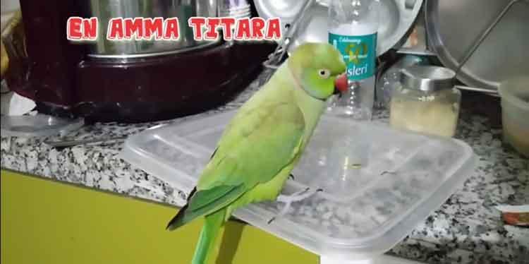 pattu-parrot1