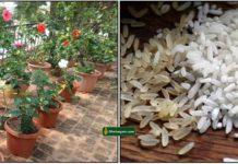 plant-rice