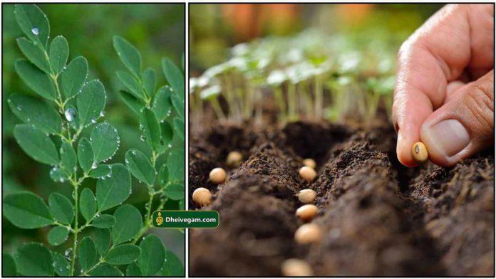 murungai-seed-planting