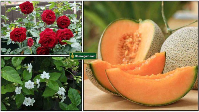 rose-malli-mulam