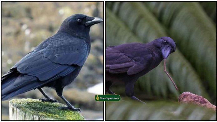 crow-kagam