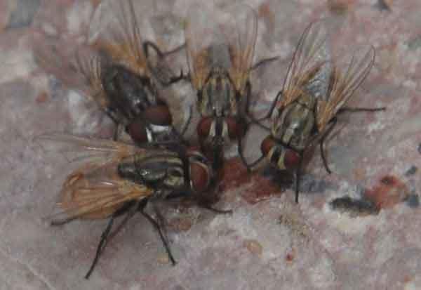 house-flies